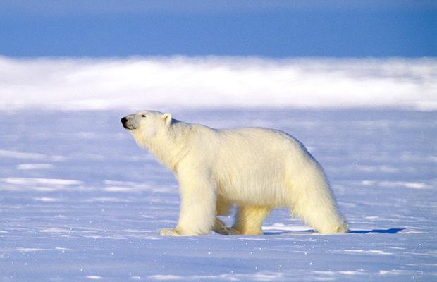 arctic-bear